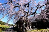 西光寺 枝垂れ桜 - ちょっとそこまで