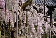 大野寺 枝垂れ桜 - ちょっとそこまで