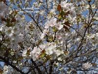 なんにもないから桜 - * la dentelle ecrue *
