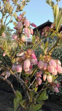 ブルーベリーのコンテナ栽培順調です。 - Rose&Farm