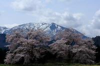 今年の夫婦桜 - デジタルで見ていた風景