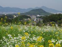 明日香・八釣 ダイコンの花 - まほろば 写真俳句