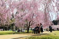 竹田しだれ桜まつり - 酎ハイとわたし