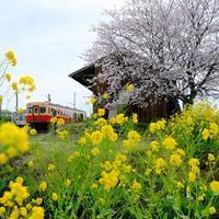 海士有木の桜とキハ200気動車 小湊鐵道 - My B Side Life season2
