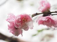 桃の花 - 静かに過ごす部屋