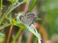 徳島方面遠征 クロツバメシジミの春 Byヒナ - 仲良し夫婦DE生き物ブログ
