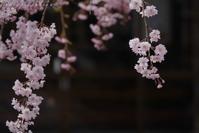 枝垂桜 - フォトな日々