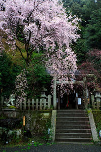 桜2017! ~大豊神社~ - Prado Photography!