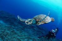タイマイ 沖縄 - 沖縄 ダイビング 水中写真 フォトギャラリー