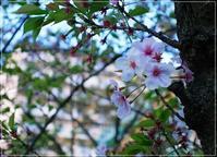 ◆春の嵐と散りゆく過程のサクラ・・・体調も乱れがち(´-`) - ☆彡ちいさな幸せ☆彡別館