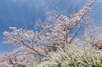 今年の桜は。。。 - 四季燦燦 癒し系~^^かも風景写真