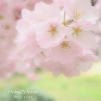 *昭和桜* - HANA*HANA