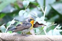 水場のキビタキ - poiyoの野鳥を探しに