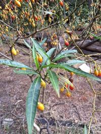 カンガルーアップル Kangaroo Apple の木 - メルボルン 手作り生活の記録
