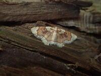 アカモンコナミシャク Palpoctenidia phoenicosoma semilauta - 写ればおっけー。コンデジで虫写真