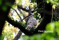 オオタカ(大鷹) 雌 - azure 自然散策 ~自然・季節・野鳥~
