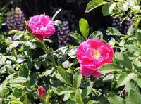 食香バラ「豊華」と「紫枝」が咲きました。 - 元木はるみのバラとハーブのある暮らし・Salon de Roses