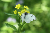 ツマキチョウ   都心の公園で - 蝶のいる風景blog