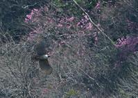 花に絡んだクマタカ - 今日も鳥撮り