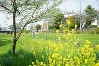 野川の八重桜と菜の花~後編 - 柳に雪折れなし!Ⅱ
