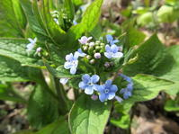 庭の花 ブルンネラとピピット - ユリ 百合 ゆり 魚沼農場の日々