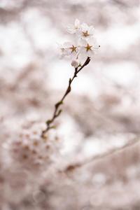 水沢公園・2017桜 - ちわりくんのありふれた毎日II