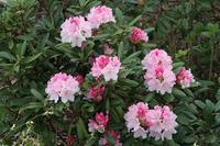 今日の庭 石楠花がもうすぐ満開 - シェーンの散歩道