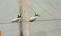 雨中のヤマセミ - barbersanの野鳥観察