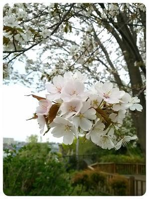 桜前線北上 - *す*的な日々