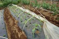 """トウモロコシの植え付け - 〔家庭菜園日記〕 """"すろーらいふ"""" 茅ケ崎のはまちゃん. 野菜つくり"""