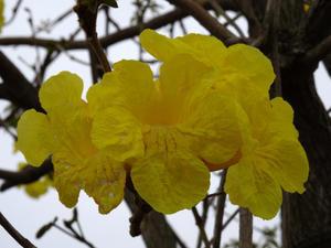 南米に咲く「イペー」の花 - 南風だより