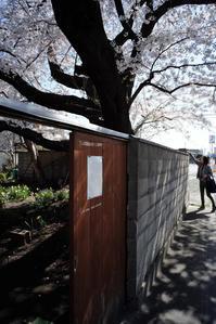 貼り紙のある大きな桜の樹 - Film&Gasoline