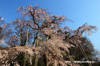 《花》 大宮体育館の枝垂桜 - 100-400ISの部屋