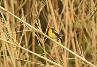 秋ヶ瀬の夏鳥キビタキ Narcissus Flycatcher - 素人写人 雑草フォト爺のブログ