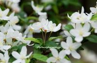 ズミの花、満開 - 花と風の薫り