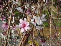 九州国立博物館にしだれ桜。 - 『HARETOEN』ハレトエンの日々。