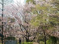 最後の桜2 - はーとらんど写真感