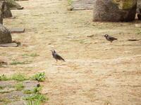 ムクドリの群れ、黒川清流公園 - 西多摩探鳥散歩