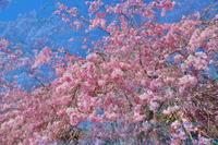山里の桜 2 - 天野主税写遊館