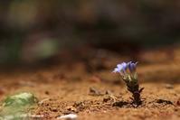 フデリンドウ など - 野山の住認たちⅡ
