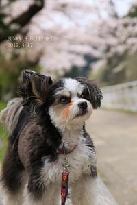SAKURA*2017 その8(まだまだ途中な桜散歩♪) - FUNKY'S BLUE SKY