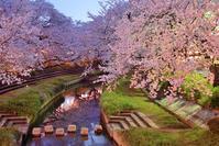 元荒川の桜並木 - 人生とは旅なり