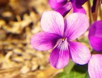 紫いろいろ - 徒然なるままに