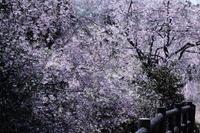 今年の桜撮りは慌ただしく終わりました。開花が遅く咲いたら天気が悪く、そうこうしているうちに散ってしまった。。 - かな坊の独り言