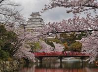 姫路城のお堀をぐるっと桜巡り(2)城見橋からの桜と大天守 - たんぶーらんの戯言