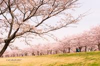 私の住む町の桜も素敵です* - ココロハレ*