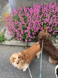綺麗なお花と - きょうのはなwithくるみ~愛犬写真日記~