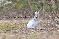 2017 春のエゾユキウサギ - イチガンの花道
