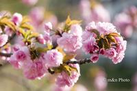 八重桜 - 季節のおくりもの