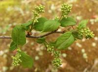 #木の花『もうすぐ咲くよ』沢蓋木 Symplocos sawafutagi - 自然感察 *Nature * feeling*